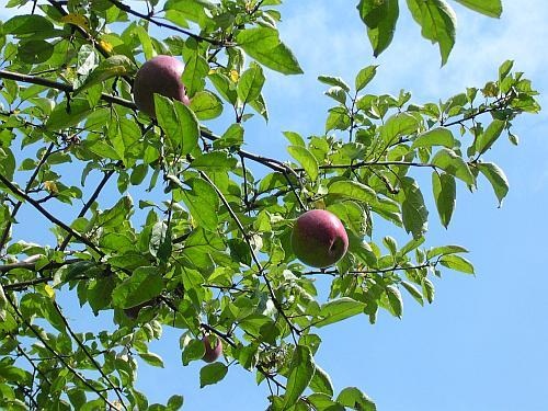 Haus Bürgel Äpfel